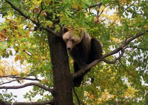 bear sanctuary, transylvania, Zarnesti, Transylvania, wildlife, European Brown Bear, large carnivores, animal sanctuary