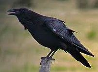 Ravens are one of the many impressive bird species living in and around Magura Transylvania