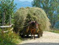 Haymaking twice a year, at midsummer and in September; traditional ways persist in Magura, Romania