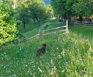 Free-range in organic wildflower meadows, the black lamb has a good life in Magura