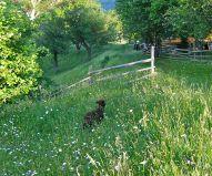 Free-range in organic wildflower meadows, the black lamb has a good life in Magura