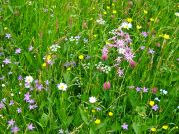 Wild flowers are the pasture for cattle, sheep, goats, horses and hens in Magura
