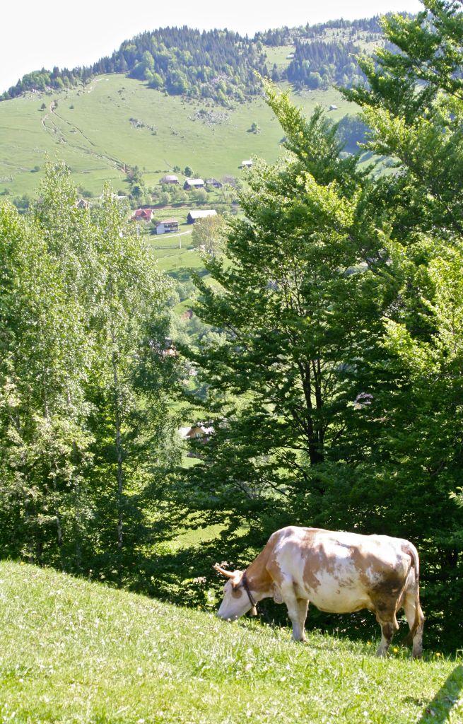 Organic, free-range beef production in rural Transylvania