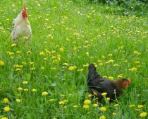 Chickens roam through the diverse wildflower meadows in Magura, Romania