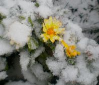Snow hits the last summer flowers in Magura Transylvania