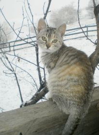 Romanian mountain kitten in the snow