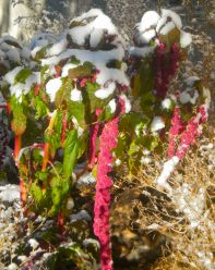The last summer flowers under the first snow in a Carpathian mountain village