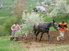 Ploughing the traditional way in the Carpathian Mountains of Transylvania