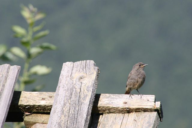Baby Black Redstart getting his wings under control