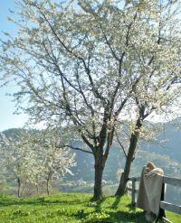 Cats enjoying the spring sunshine, under the cherry trees