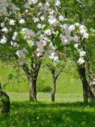 Spring orchards, with fruit trees in bloom and wildflowers everywhere