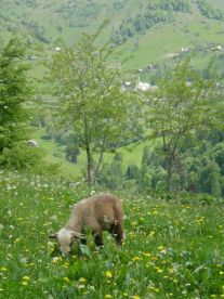 Spring lamb enjoying the new grass and the dandelions