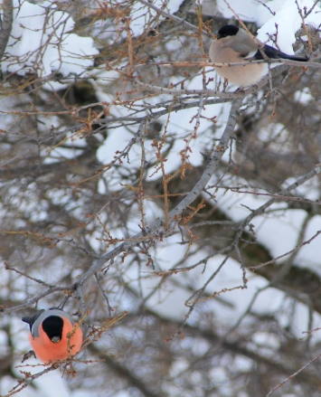 piatra craiului, Bullfinch, finches, pasarenes, winter visitors, European winter birds, snow,. freezing weather, Romania