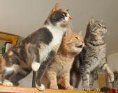 ferocious kittys