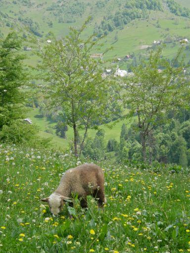 Spring lamb, Magura Transylvania, Romania, mountains, Carpathians, Easter