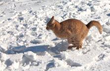 Magura Transylvania, cats, snow, cat playing in snow