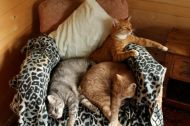 Cats lounging on leopard print rug. where else?