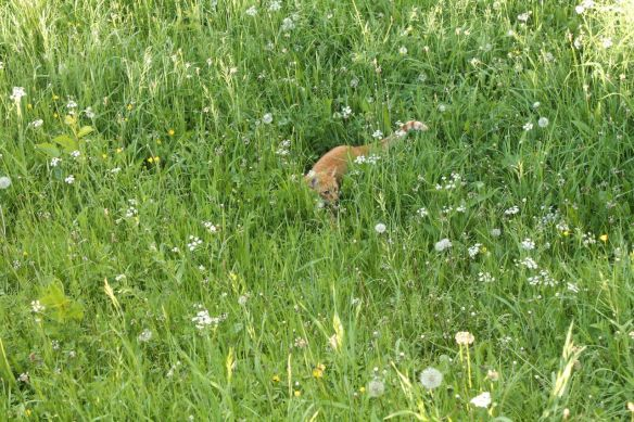 cat, Carpathians, wildflowers, Transylvania, Magura, Romania, wildlife, Brasov