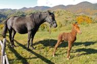Horse and baby foal