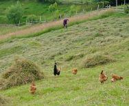 Chickens enjoying the bounty