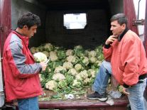 Cauliflower men, Zarnesti