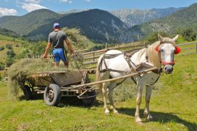 Fana Horse waits while the cart is loaded