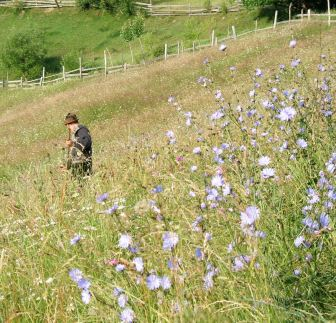Meadow full of blue chicory