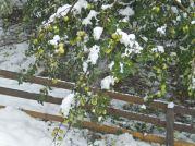 October snow caught the apple tree still heavy with fruit
