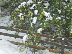 October snow caught the apple tree still heavy with fruit