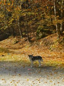 Dog against the forest