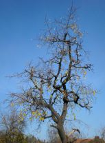 Old pear tree ready for winter