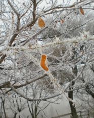 Fierce frost captures the last leaf