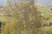 Silver birch tree with brown leaves burned by wind