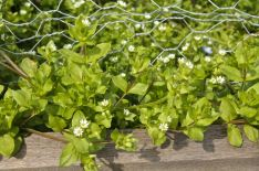 Chickweed in my vegetable garden